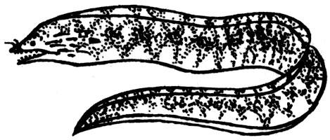 Семейство муреновые muraenidae семейство