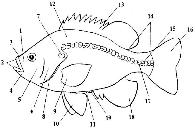 Схема строения рыбы: (1 - рыло